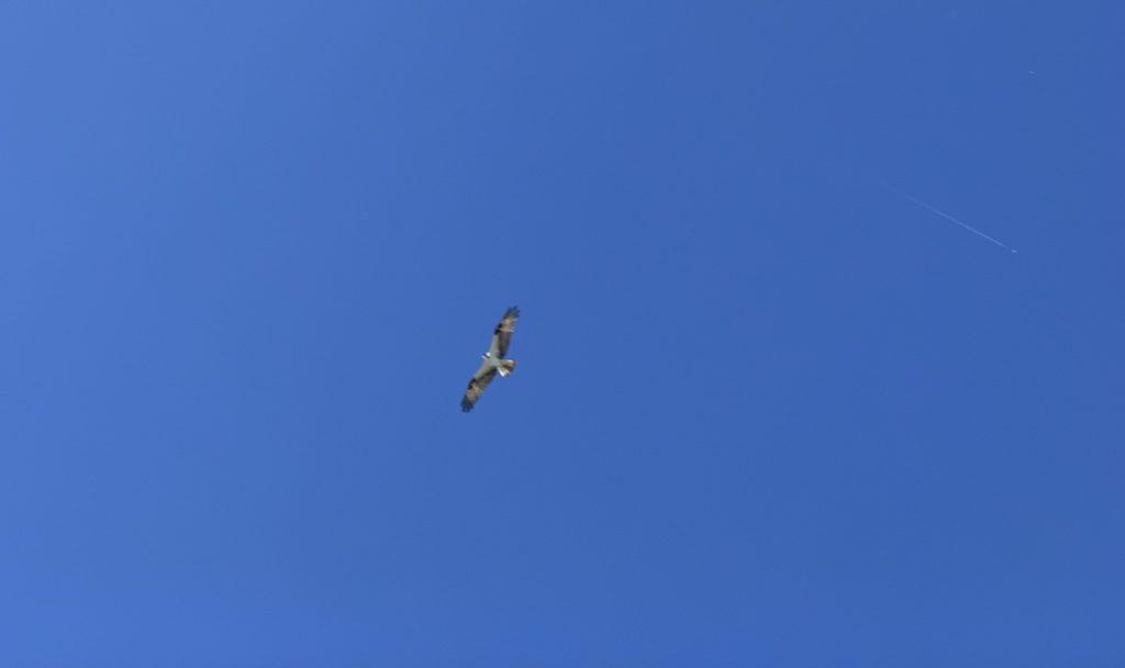 Osprey at Boise Whitewater Park