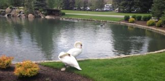 Swans at Sun Valley