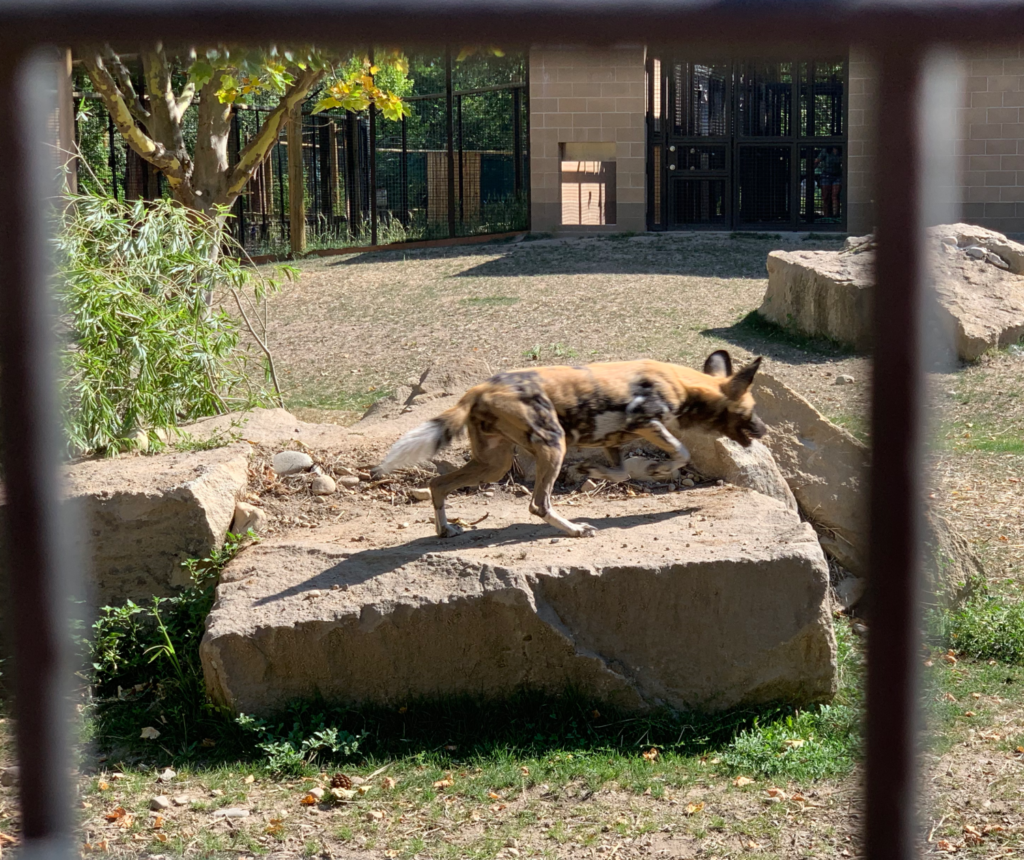 Wild Dogs in Boise