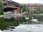 Sun Valley swans